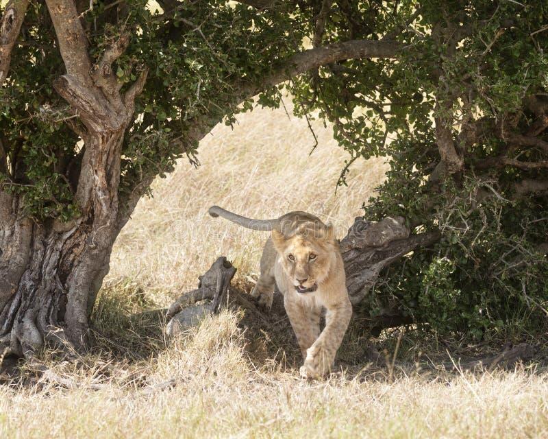 Download León imagen de archivo. Imagen de fauna, sabana, áfrica - 42433459