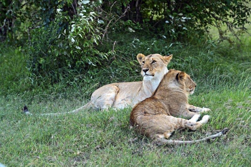 Download León imagen de archivo. Imagen de habitat, animales, joven - 44851797