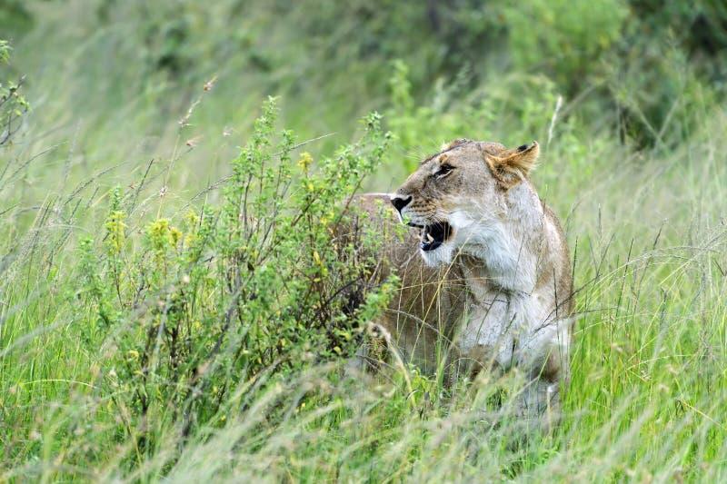 Download León imagen de archivo. Imagen de áfrica, mamíferos, fauna - 44851825
