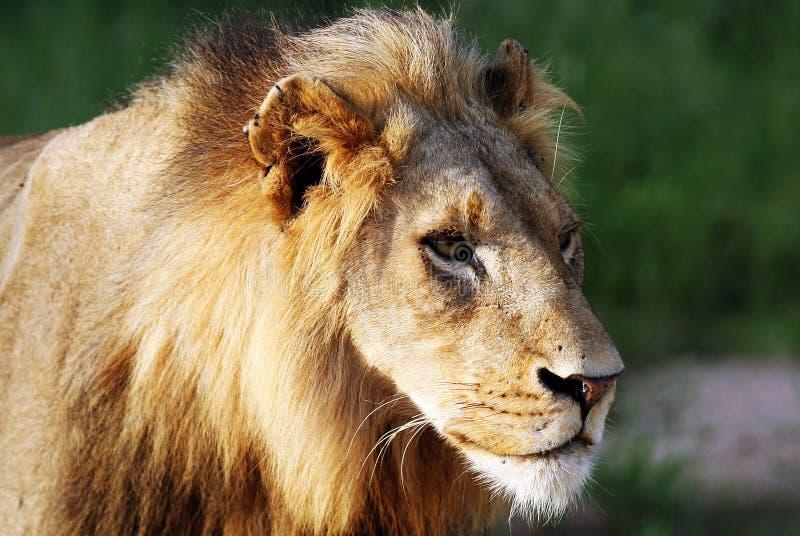 Download León imagen de archivo. Imagen de bestia, piel, contacto - 7151057