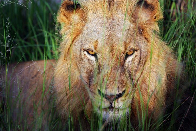 Download León imagen de archivo. Imagen de pelo, desierto, resto - 7151133