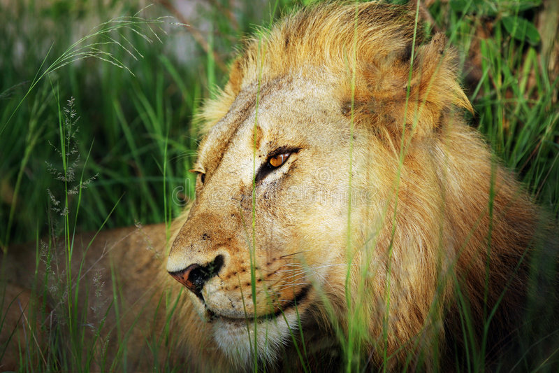 Download León foto de archivo. Imagen de kalahari, powerful, áfrica - 7151174