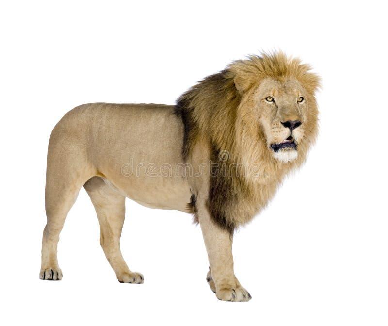 León (8 años) - Panthera leo imágenes de archivo libres de regalías