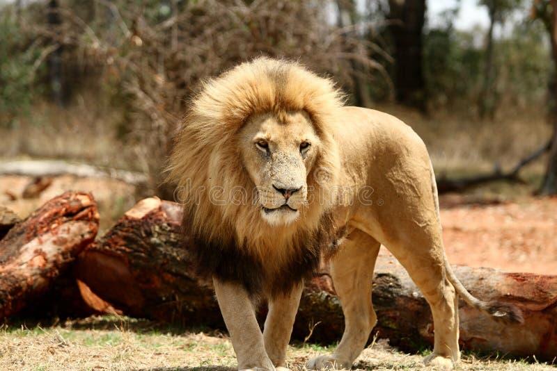 León africano imagen de archivo libre de regalías