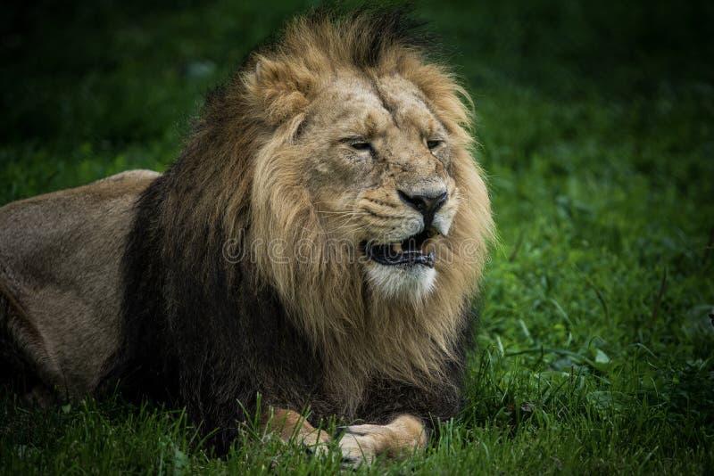 León africano imagen de archivo