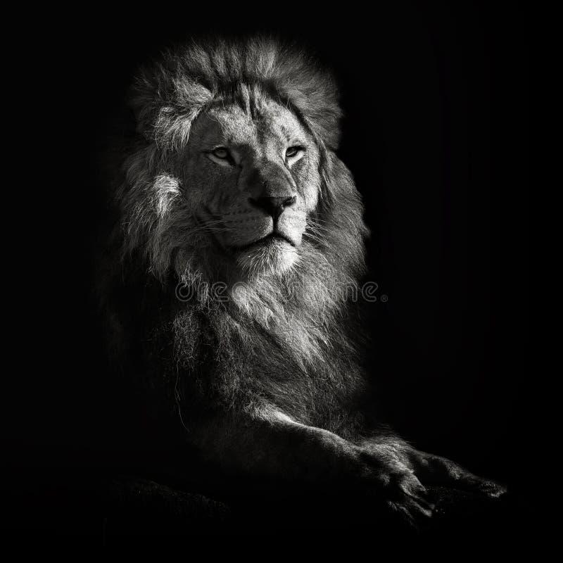 León africano fotos de archivo libres de regalías