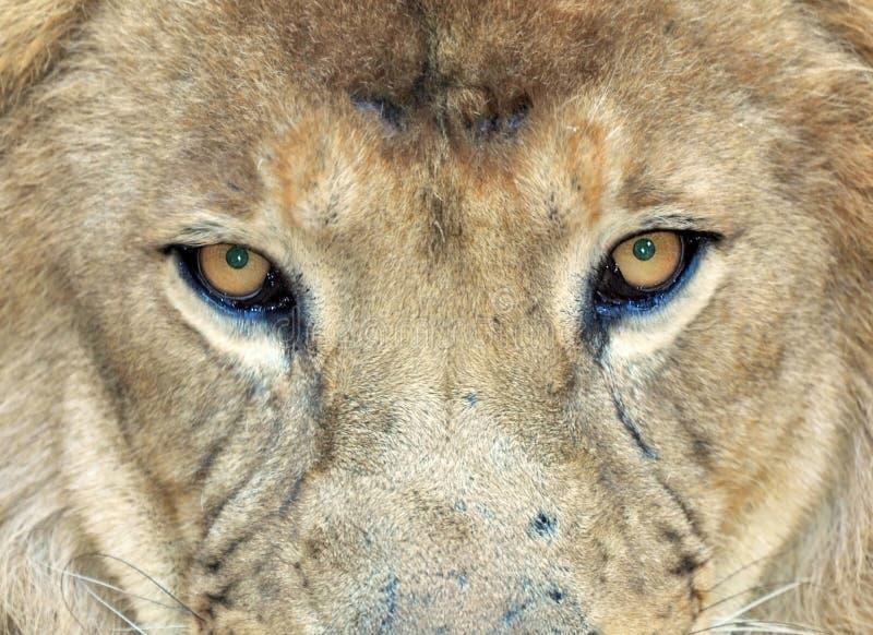 León africano del marco completo, Transvaal, Suráfrica foto de archivo