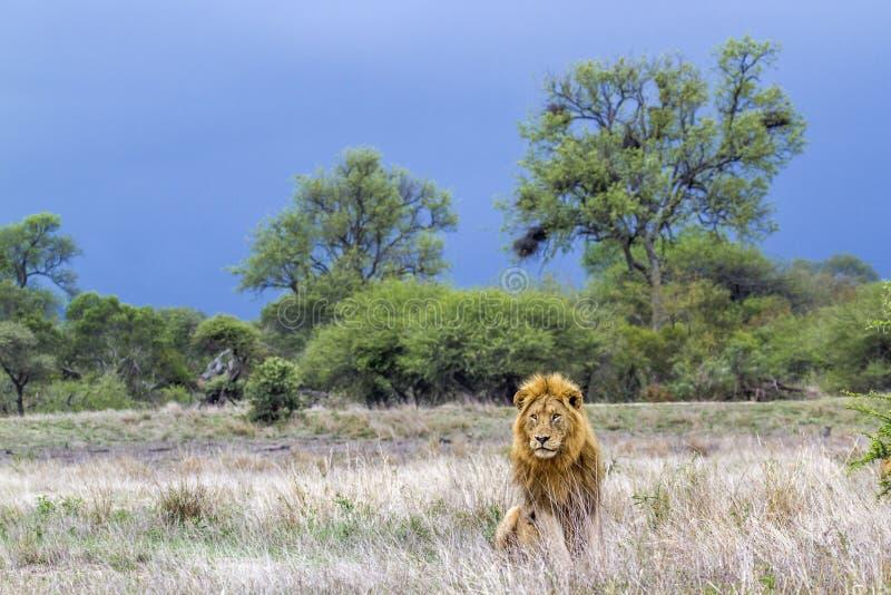 León africano en el parque nacional de Kruger, Suráfrica imagen de archivo