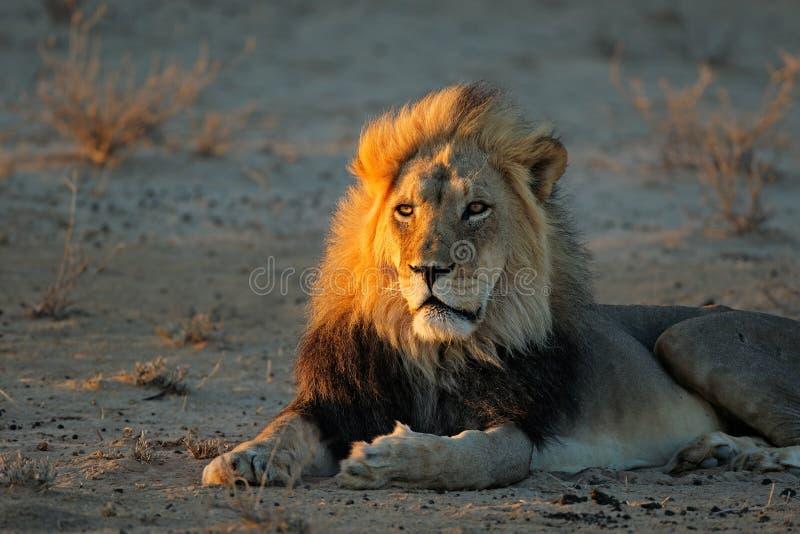 León africano en luz de la madrugada imágenes de archivo libres de regalías
