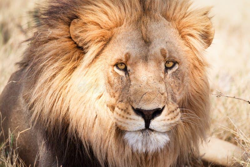 León africano grande en sabana seca imagen de archivo