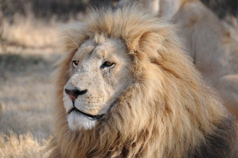 León africano masculino majestuoso (Panthera leo) imágenes de archivo libres de regalías