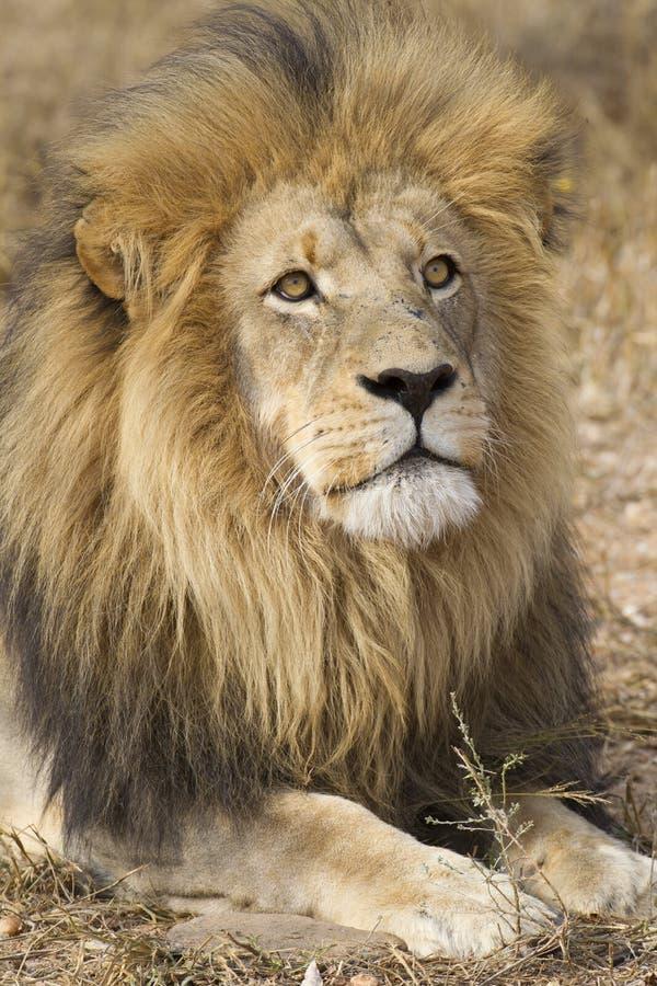 León africano masculino (Panthera leo) Suráfrica foto de archivo