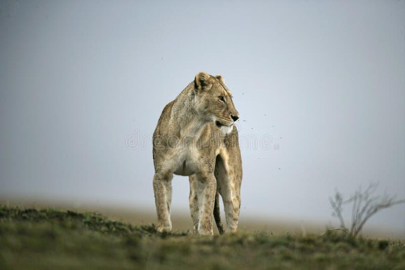 León africano, Panthera leo foto de archivo libre de regalías