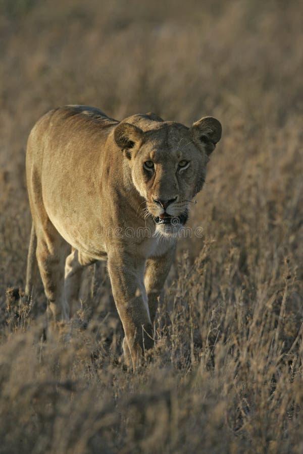 León africano, Panthera leo fotografía de archivo