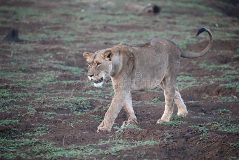 León africano, Panthera leo fotos de archivo