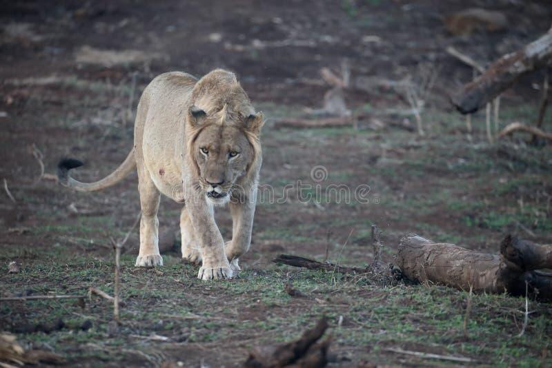 León africano, Panthera leo imagen de archivo libre de regalías