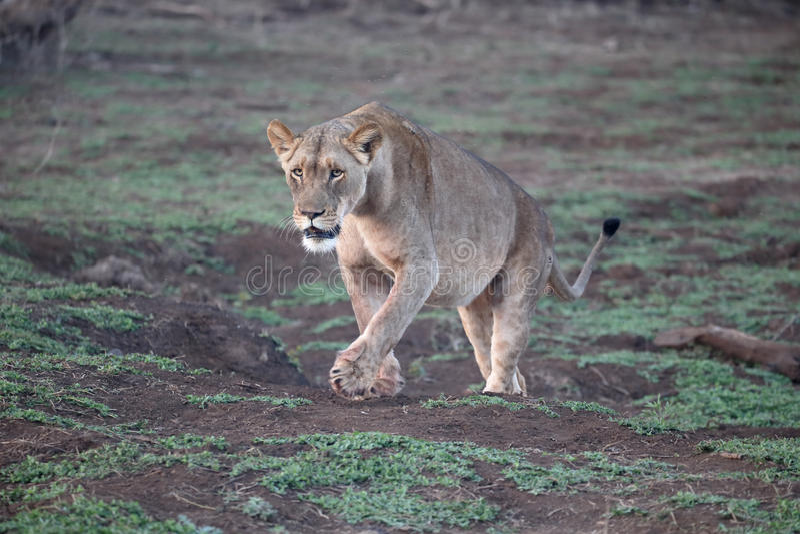 León africano, Panthera leo imágenes de archivo libres de regalías