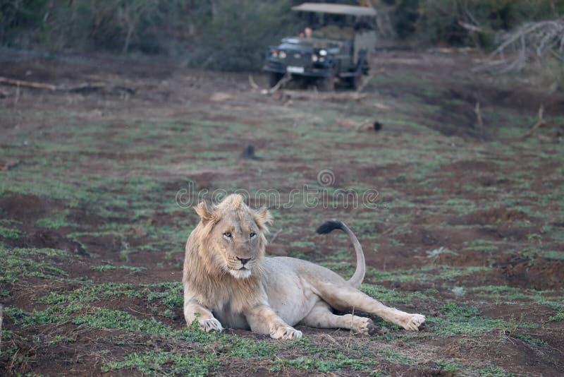 León africano, Panthera leo imagen de archivo