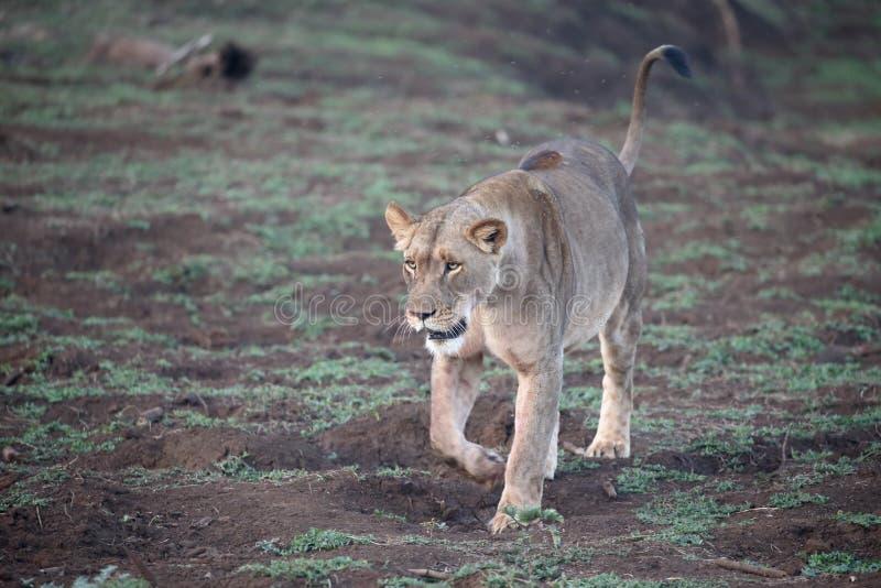 León africano, Panthera leo imagenes de archivo
