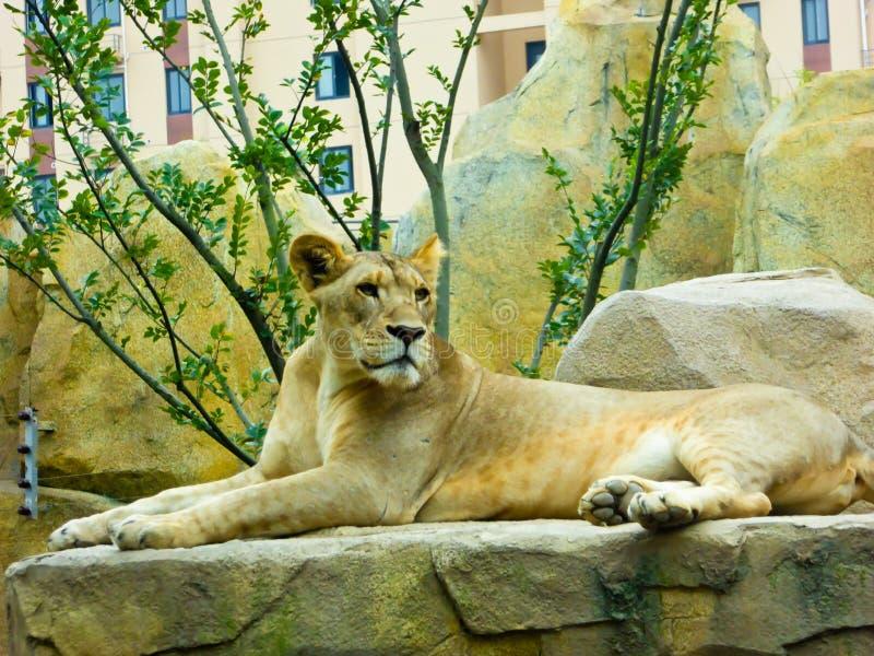 León africano que descansa sobre la roca foto de archivo