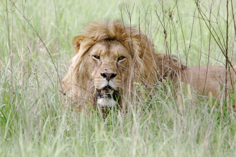 León africano salvaje fotos de archivo libres de regalías