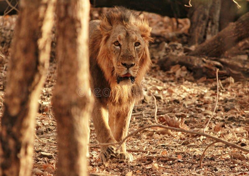 León asiático foto de archivo