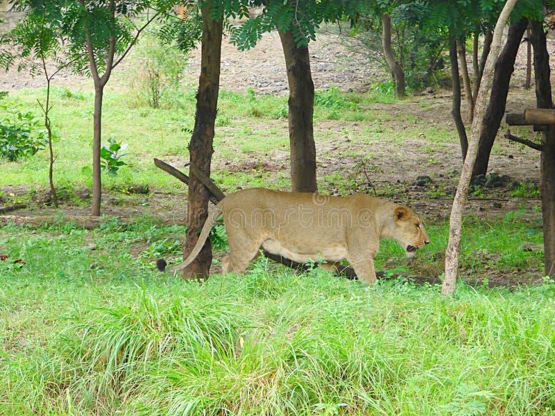 León asiático femenino - leona - en bosque fotos de archivo