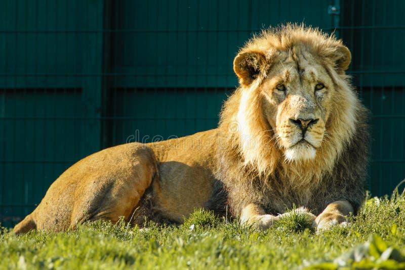 León asiático Parque zoológico de Dublín irlanda imágenes de archivo libres de regalías