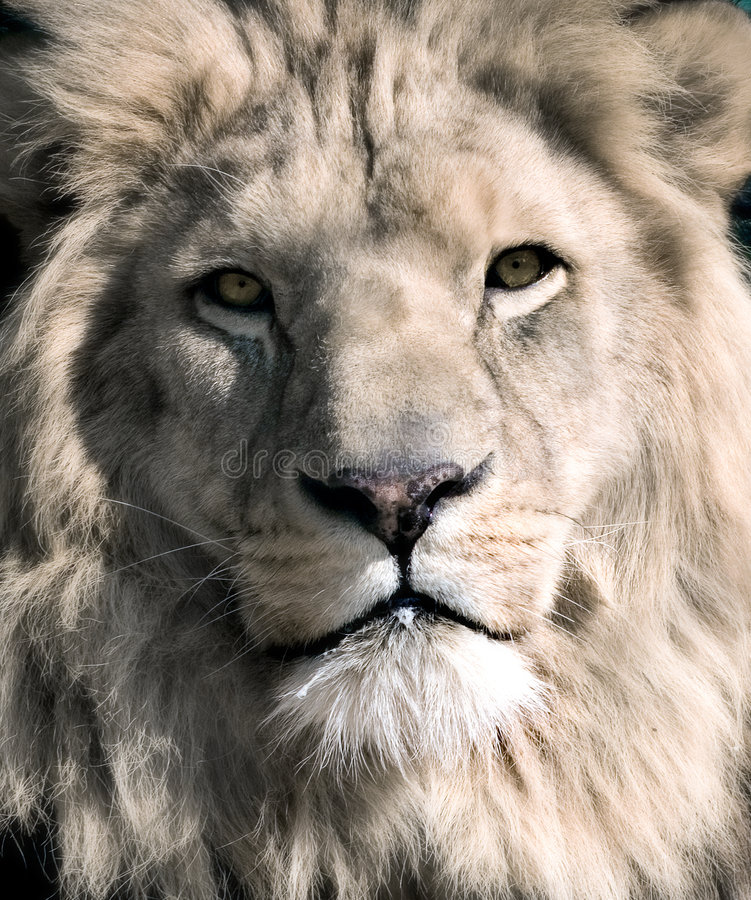 León blanco imagenes de archivo