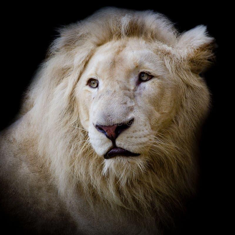 León blanco de África imagenes de archivo