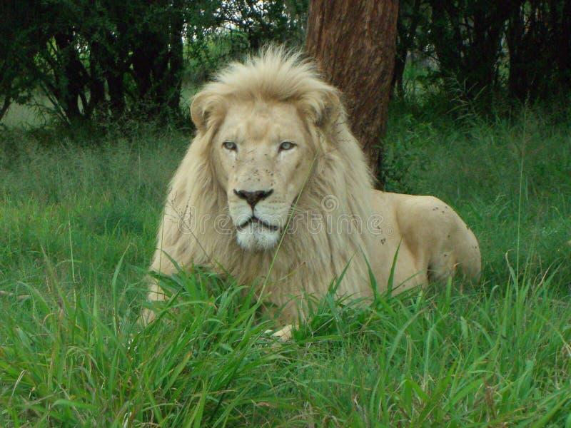 León blanco en África en descanso fotos de archivo libres de regalías
