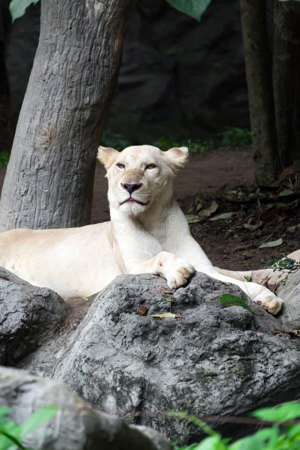 León blanco femenino que miente en la roca foto de archivo