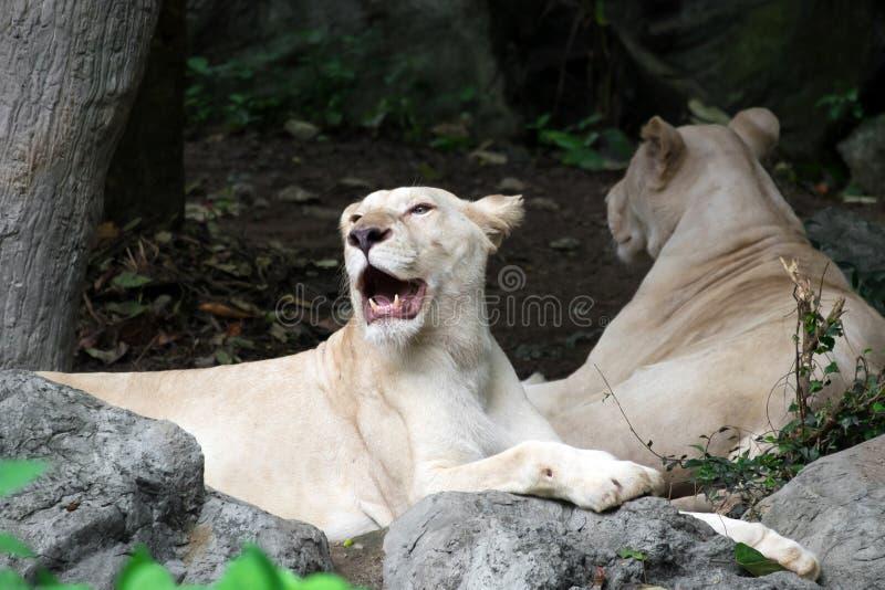 León blanco femenino que miente en la roca fotos de archivo