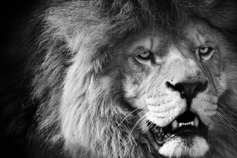 León blanco y negro imagen de archivo