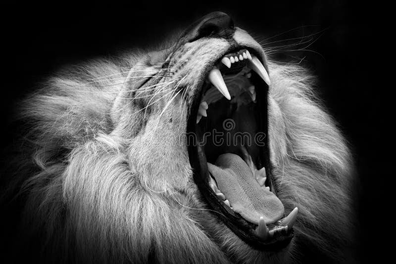 León blanco y negro con la boca abierta fotos de archivo