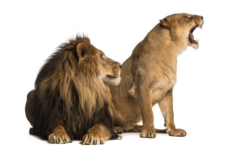 León con la leona que ruge, uno al lado del otro, el Panthera leo imagen de archivo