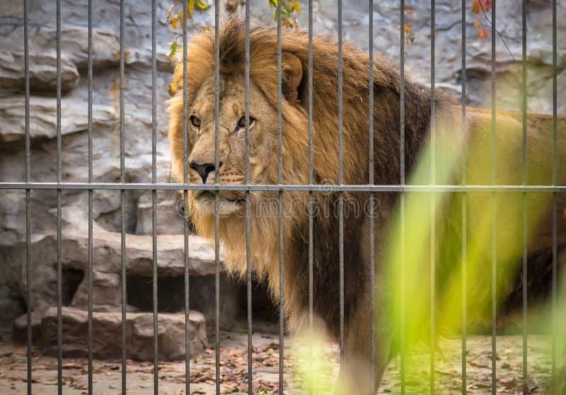 León con una melena en una jaula fotografía de archivo libre de regalías