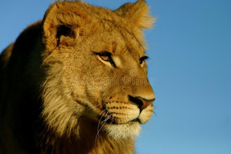 León contra el cielo azul imagenes de archivo