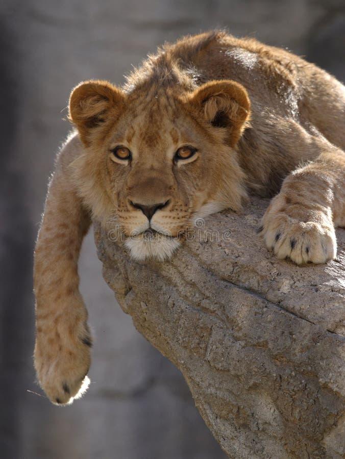 León Cub imagenes de archivo