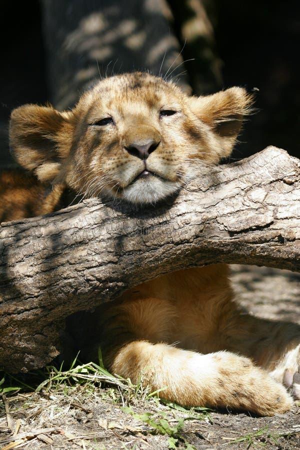 León Cub foto de archivo libre de regalías