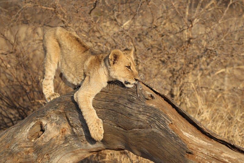 León Cub africano imagen de archivo