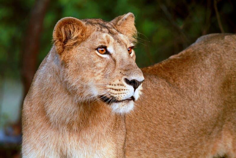León Cub en el parque nacional del bosque de Gir imágenes de archivo libres de regalías