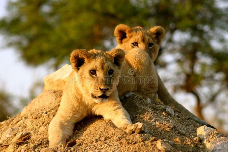 León Cubs imagenes de archivo