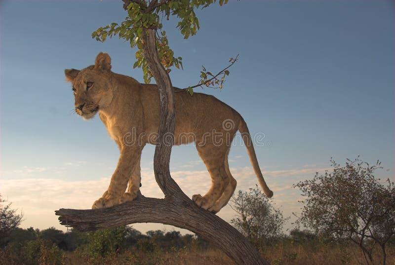 León de África (Panthera leo) fotos de archivo libres de regalías