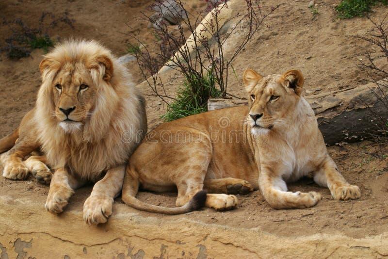 León de Angola, león y leona fotos de archivo
