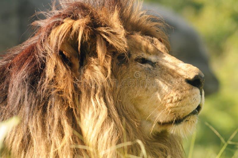 León de Kalahari fotografía de archivo