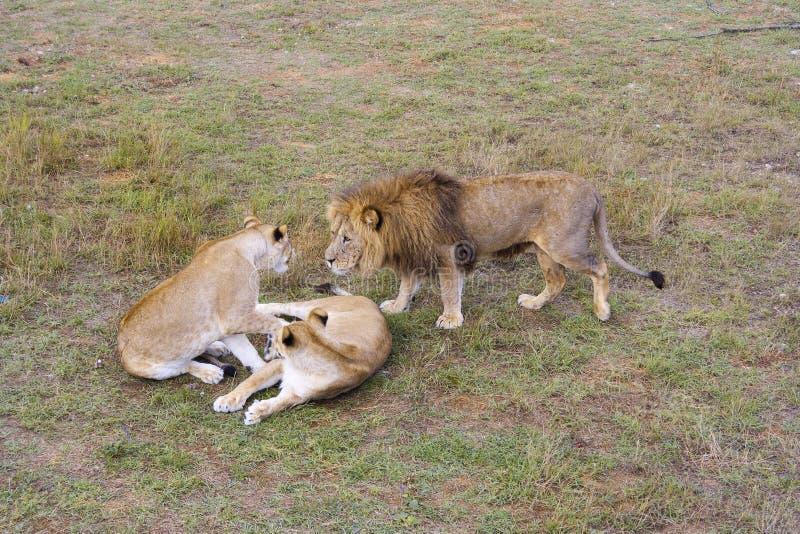 León de los animales salvajes de la comunicación con las leonas en el salvaje imágenes de archivo libres de regalías