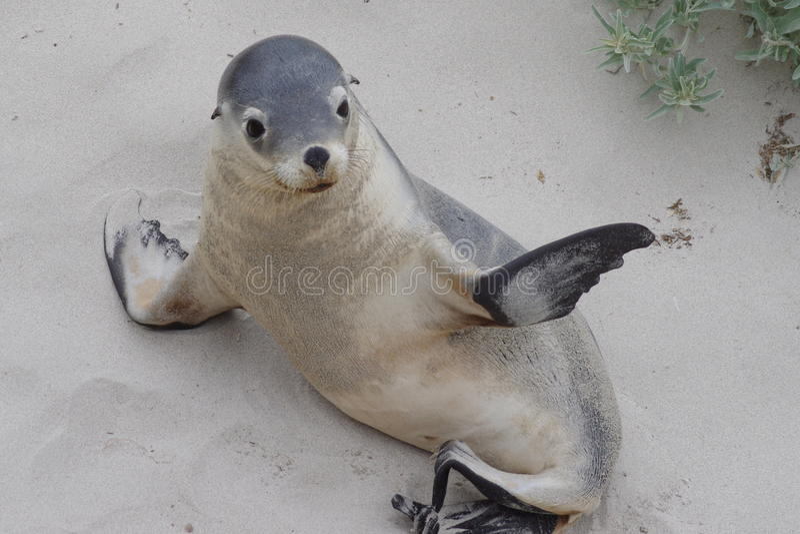 León de mar australiano fotos de archivo