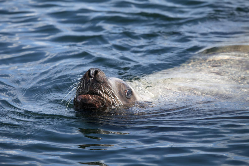 León de mar curioso foto de archivo libre de regalías