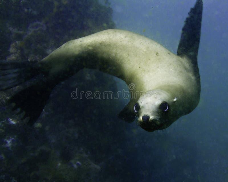 León de mar de California fotografía de archivo libre de regalías